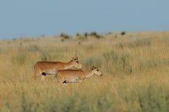 Wilde Saiga-Antilopenpaare in Kalmückien-Steppe Stockbild