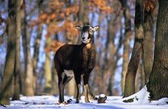 Wilde schapen royalty-vrije stock foto's