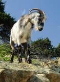 Wilde schapen Stock Foto