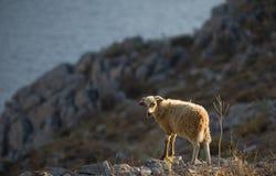 wilde schapen op het Griekse Eiland Symi Stock Foto's