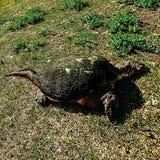 Wilde Schildkröte des Parks lizenzfreie stockfotos