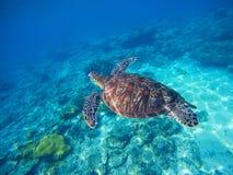 Wilde Schildkröte, die unter Wasser im blauen tropischen Meer schwimmt Unterseeisches Foto mit Schildkröte Lizenzfreies Stockbild
