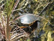 Wilde Schildkröte - Sumpfgebiete Florida Stockfoto