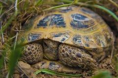 Wilde schildpad in steppe in Kazachstan, Malaysary Stock Fotografie