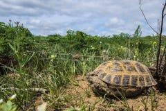 Wilde schildpad in steppe in Kazachstan, Malaysary Royalty-vrije Stock Foto