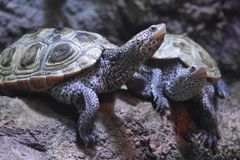 Wilde Schildpadden of Schildpaddenclose-up Royalty-vrije Stock Foto's