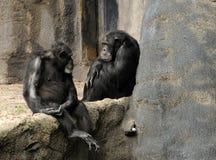 Wilde Schimpansen Stockfotografie