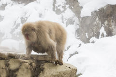 Wilde Schnee-Affe-Frau mit Baby darunterliegend Lizenzfreie Stockbilder