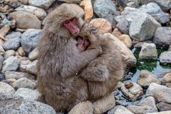 Wilde Schnee-Affe-Umarmung 4 Lizenzfreies Stockfoto