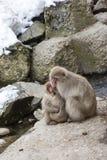Wilde Schnee-Affen, die für Wärme die Köpfe zusammenstecken Stockfotos