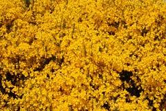 Wilde schottische Besenanlage in voller Blüte an einem sonnigen Tag stockfotos