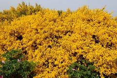 Wilde schottische Besenanlage in voller Blüte an einem sonnigen Tag mit Seedunst stockfotos