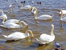 Wilde Schwäne und Enten auf dem Wasser Stockfotografie