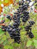 Wilde schwarze Beeren Stockfoto
