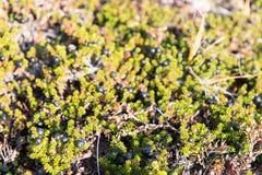 Wilde schwarze Crowberries auf Empetrum nigrum Busch in Grönland Stockfotos