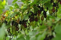 Wilde Schwarze Johannisbeere, die auf einem Buschhaushalt wächst lizenzfreie stockbilder