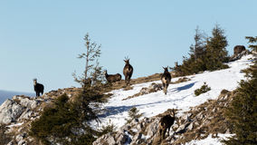 Wilde schwarze Ziegen auf dem Berg Stockbilder