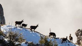 Wilde schwarze Ziegen, die in der Sonne sitzen Stockfotografie