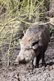 Wilde-Schwein Lizenzfreie Stockbilder