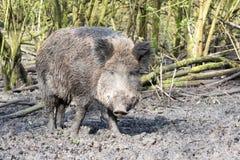 Wilde-Schwein Stockbilder