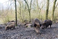 Wilde-Schwein Lizenzfreie Stockfotografie