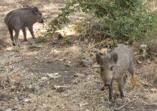 Wilde Schweinbabys Lizenzfreie Stockbilder