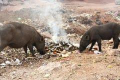 Wilde Schweine auf der Straße, die im Abfall speist stockfotos