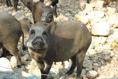 Wilde Schweine an einem Zoo Stockfoto