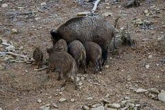 Wilde Schweinfamilie stockfotos