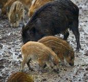 Wilde Schweinfrau und -ferkel im Schlamm Stockfotografie