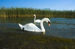 Wilde Schwäne nähern sich a lakeshore Stockbild
