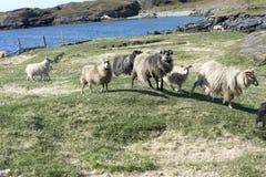 Wilde Sheeps, Groenland royalty-vrije stock foto