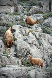 Wilde sheeps van Yung stock foto