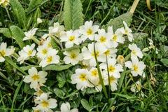 Wilde sleutelbloemen in bloem Royalty-vrije Stock Foto