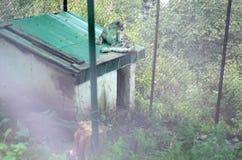 Wilde sneeuwluipaard in gevangenschap royalty-vrije stock fotografie