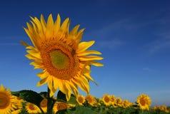 Wilde Sonnenblume stockfotos