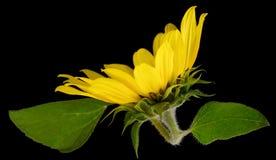 Wilde Sonnenblume Stockbild