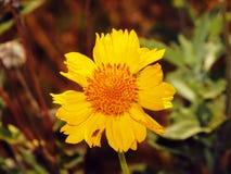 Wilde Sonnenblume Lizenzfreie Stockfotografie