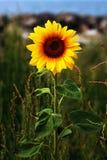 Wilde Sonnenblume nahe der Küste stockfotografie