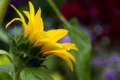 Wilde Sonnenblume am sonnigen Tag des Falles stockfotos
