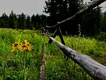 Wilde Sonnenblumen Stockfotografie