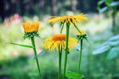 Wilde Sonnenblumen in der Blüte Lizenzfreies Stockfoto