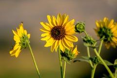 Wilde Sonnenblumen in einer Wiese an einem brite-Herbsttag lizenzfreies stockbild