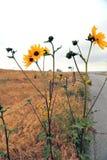 Wilde Sonnenblumen entlang der Landstraße stockfotos