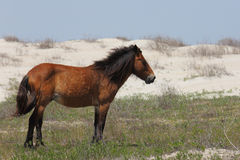 Wilde spanische Mustangs von Shackleford hat North Carolina ein Bankkonto stockfoto