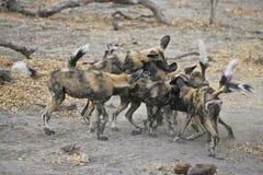 Wilde spel-bestrijdt van Honden Stock Afbeeldingen