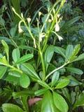 Wilde spinatchinstallatie en bloem Stock Fotografie