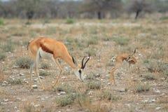 Wilde Springbockgazelle mit Jungen Lizenzfreie Stockfotografie