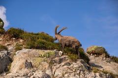 Wilde Steenbok die Rotsen op Sunny Summer Day in de Franse Alp beklimmen royalty-vrije stock afbeeldingen