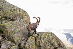 Wilde Steenbok die Rotsen op Sunny Summer Day in de Franse Alp beklimmen stock afbeeldingen